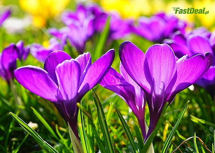Cebule kwiatowe Krokusów! Mnóstwo odmian! Wprowadź niezwykle barwne i radosne akcenty wiosennego przebudzenia!