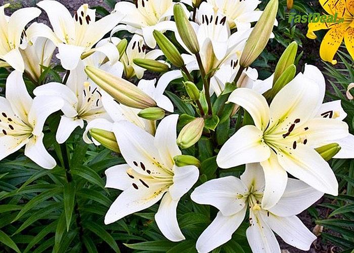 Lilie drzewiaste! Nie boją się niskich temperatur i dobrze zimują! Są ponadto odporne na choroby i szkodniki!