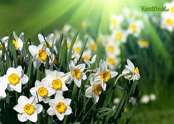 Cebule kwiatowe Narcyzów! Mnóstwo odmian! Wprowadź ciepło i radość do Twojego ogrodu!