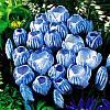 cebule kwiatowe - Krokus Wielkokwiatowy Sky Blue 10 szt