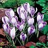 cebule kwiatowe - Krokus Wielkokwiatowy Vanguard 10 szt