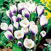 cebule kwiatowe - Krokus Wiosenny Prins Claus 10 szt