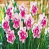 cebule kwiatowe -  Narcyz pełny Replete 5 szt